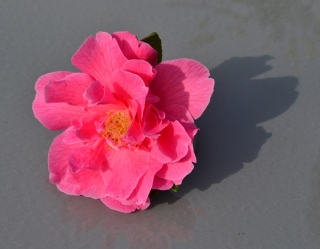 Camellia by Judith Baron