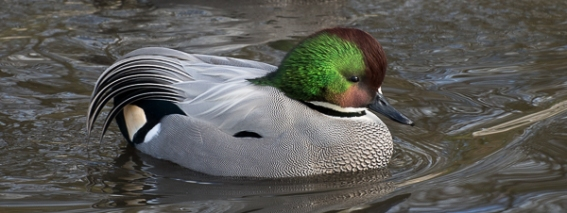 Falcated Duck by Helka Czuhra