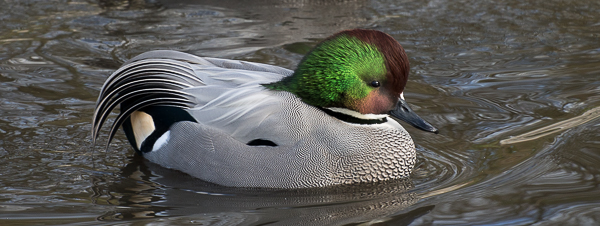 Falcated Duck by Helka Czuhra