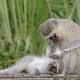 Vervet Monkeys by Ian Parker