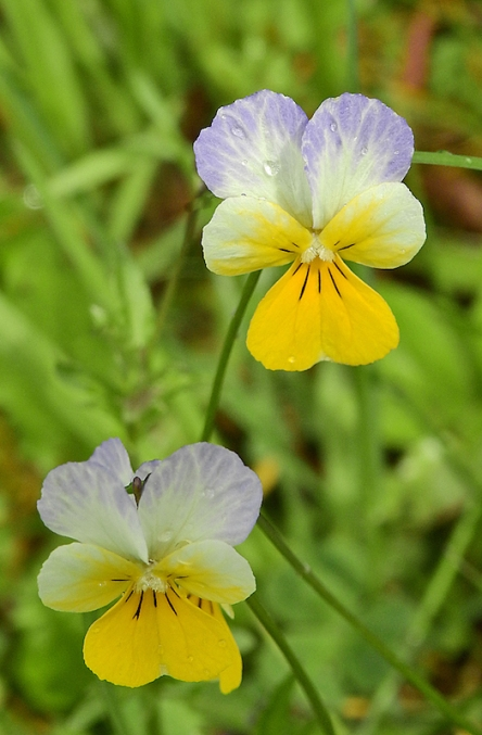 Flowers of Mountain Pansy, Viola lutea by Michael Newton