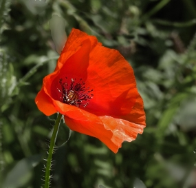 Poppy in the Sun by Michael Newton
