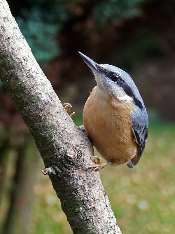 nuthatch_jim_strom