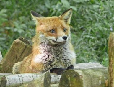 Fox Cub by Maureen Dean
