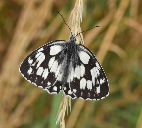 Marbled White by Michael Newton