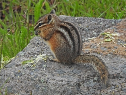 Chipmunk by Michael Newton