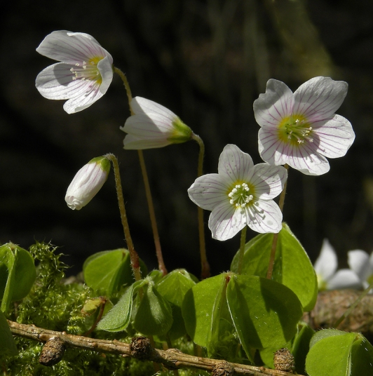 Wood Sorrel (Oxalis acetosella) by Michael Newton