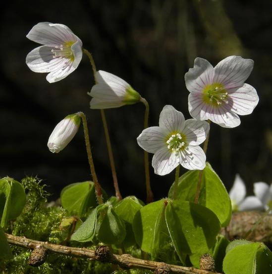 Wood Sorrel (Oxalis acetosella) by Michael Newton