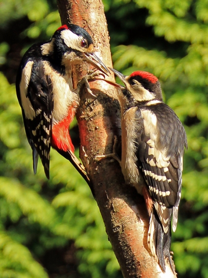 Great Spotted Woodpecker (adult male feeding juvenile) by Jim Strom