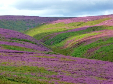 Cragg Vale's Heather Carpet by Steph Penny
