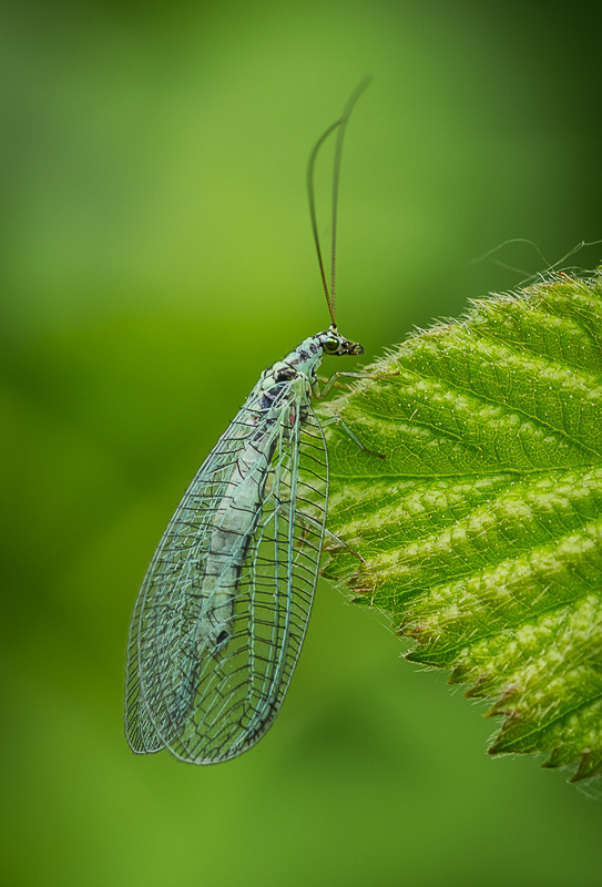 Green Lacewing  by Ian Parker