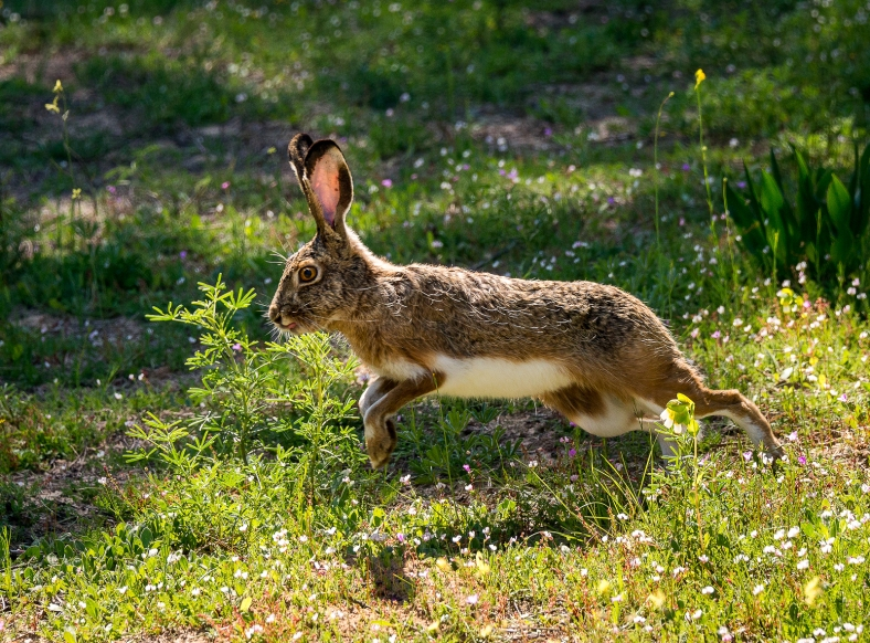 Hare mid bound amid spring flowers in dappled sunshine