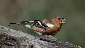 Male Chaffinch by Max Malisan