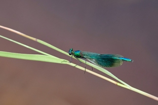 Highly Commended : Banded Demoiselle by Max Malisan